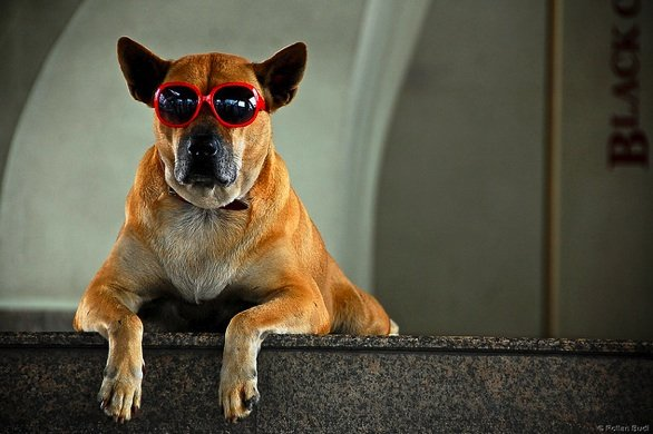 Dog chillin' with red sunglasses_rollanb