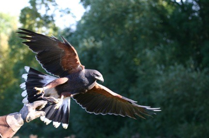 Flickr_Dave-F_Launch_ Jenny takes to the air_Harris Hawk_