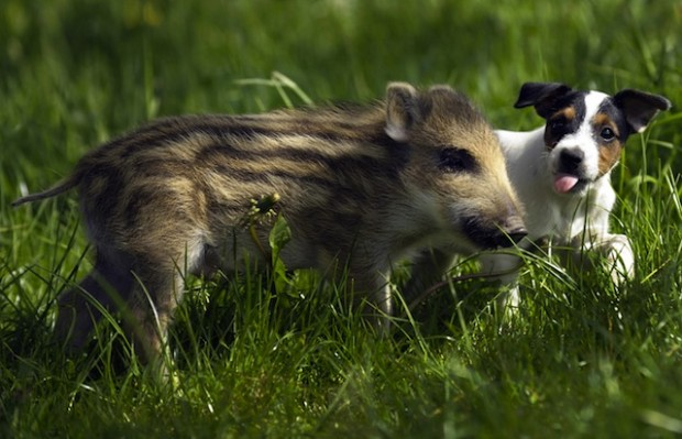 "Five weeks old young boar ""Manni"" enjoys"