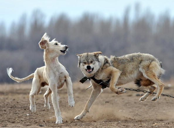 A dog is set against a chained wolf duri