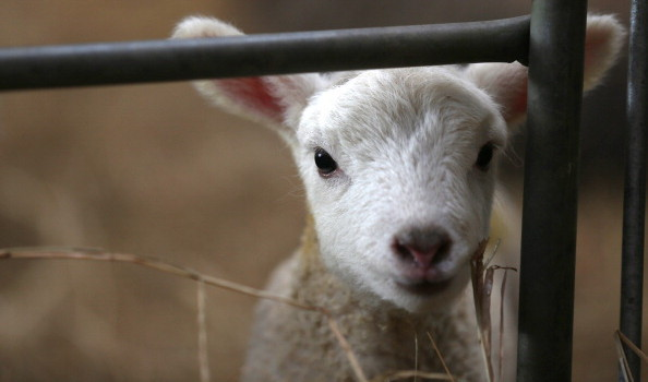 Lambs Born To Ewes Rescued From Flood Water