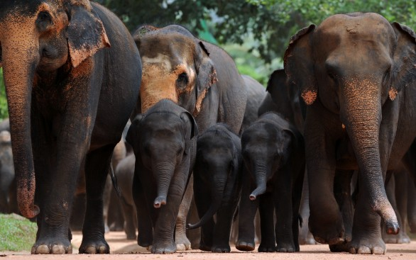 Juvenile elephants (C) are pictured with