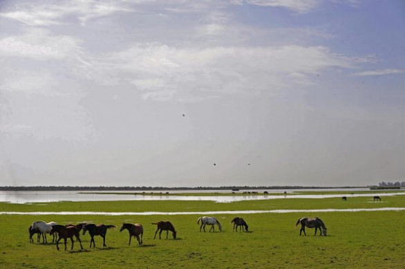 Wild horses are pictured at the Donana N