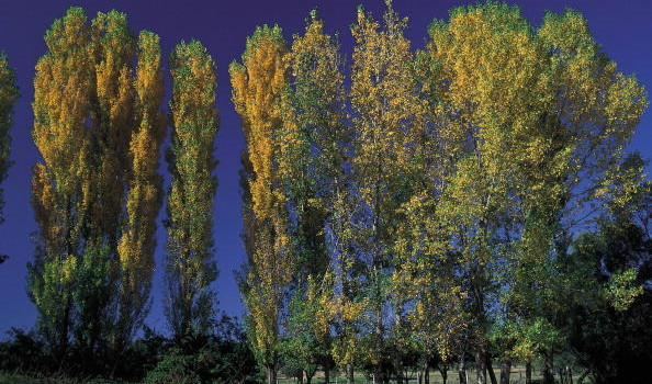 Black poplars View of black poplars in autumn in the National Park of Cabañeros. Ciudad Real province