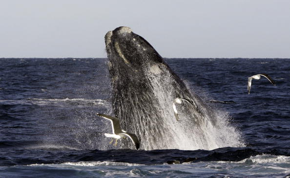 A Franca Austral whale (also known as So