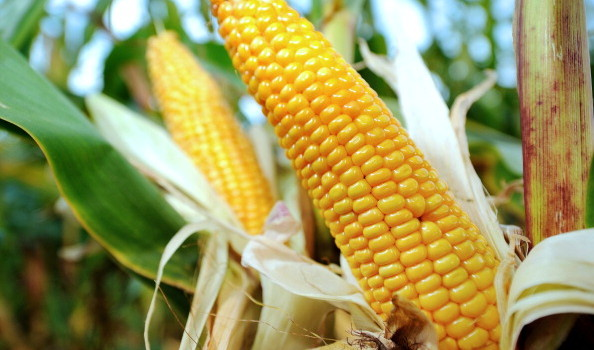 FRANCE-AGRICULTURE-CORN-FEATURE