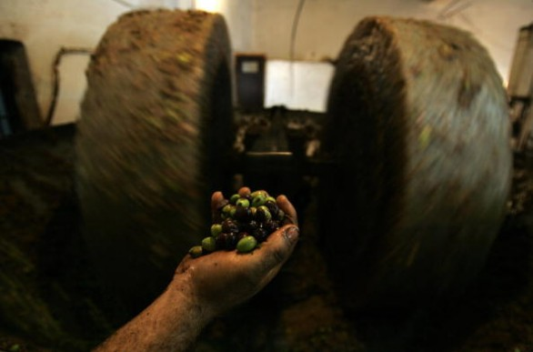 A Palestinian worker throws olives into