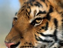 Wallpapers, Wallpaper, Tigri, Tigre, Tiger, Tigers